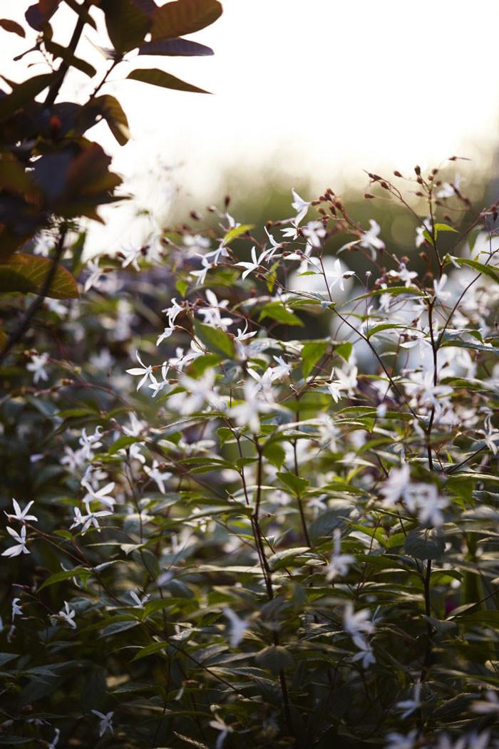 Trebladsspirea Gillenia trifoliata är en ny favoritväxt. Victoria planterar tre plantor i grupp. I augusti kan de klippas ner och blomma om. Jättefint i buketter.