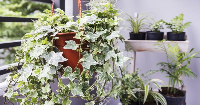 Guide: Så väljer du rätt klätterväxter för din balkong